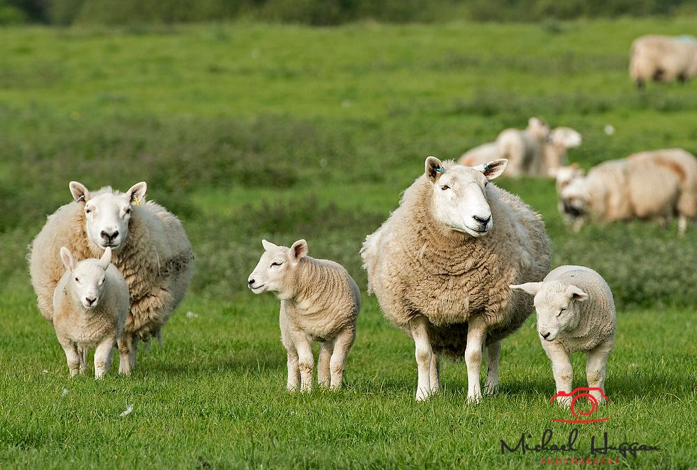 Sheep near Glen Esk,