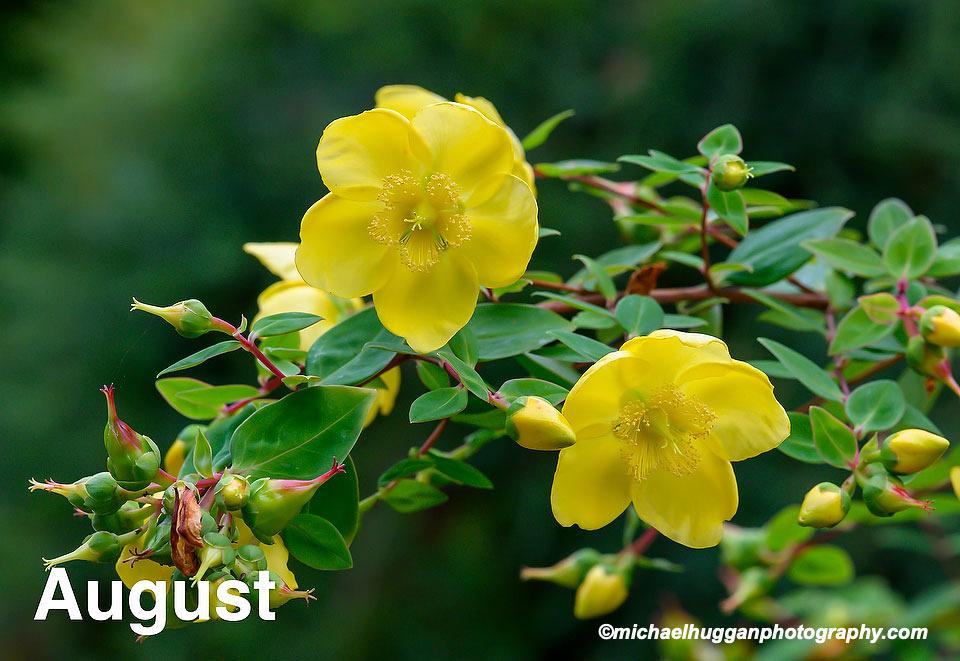 Hypericum sp. Sir Harold Hillier Gardens, Hampshire, UK