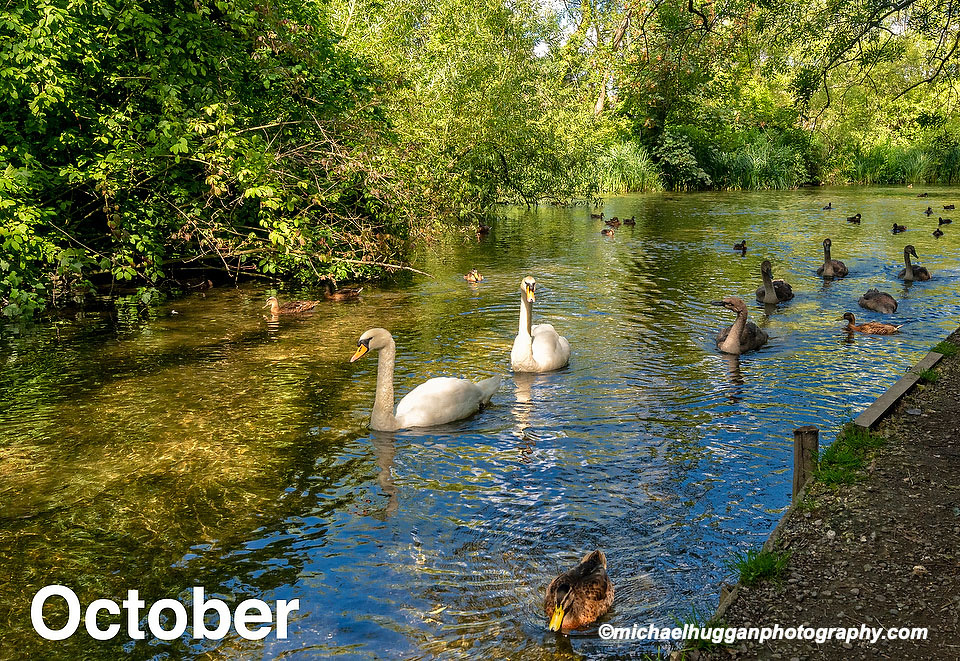 Swans, Ducks and Geese on The River Alre, Hampshire, UK