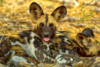 Wild Dog resting in Selous Game Reserve Tanzania