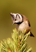 Crested Tit 9193