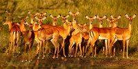 A herd of Impala all looking at the camera