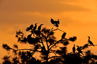 Cormorants nesting at Sunset