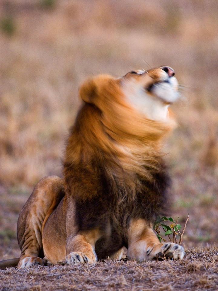 Lion shaking it's head,