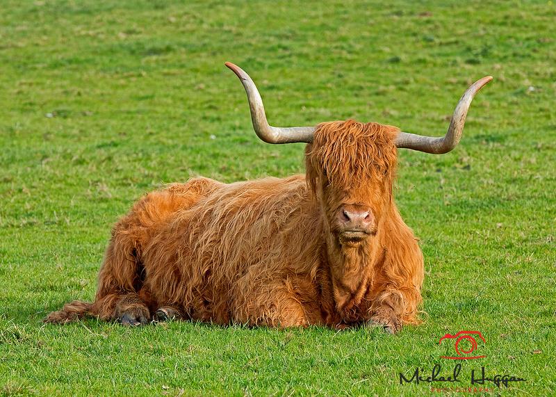 Highland Cow near Glen Esk,