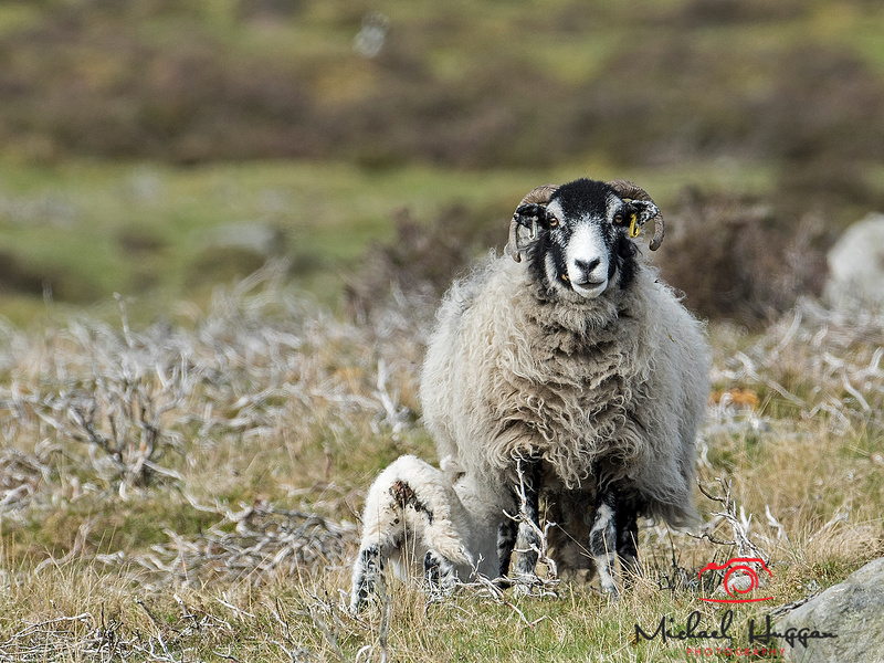Mother sheep with suckling lamb