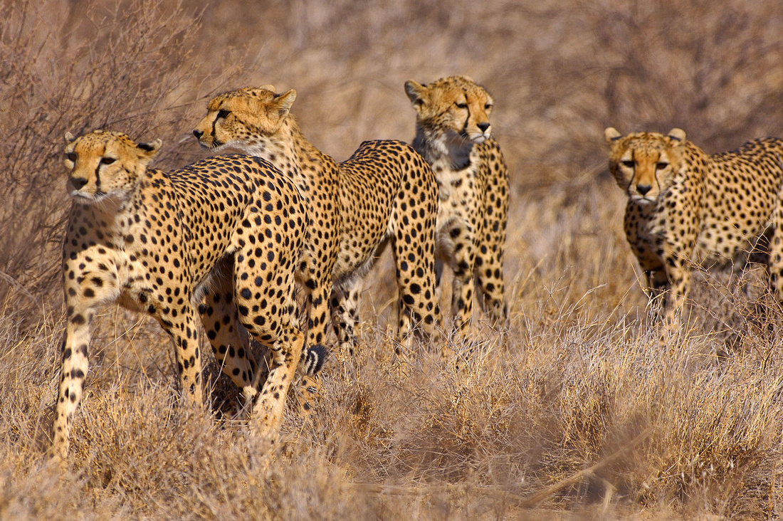 Four Cheetahs hunting