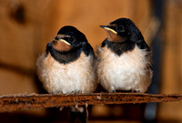 Two fledgling swallows