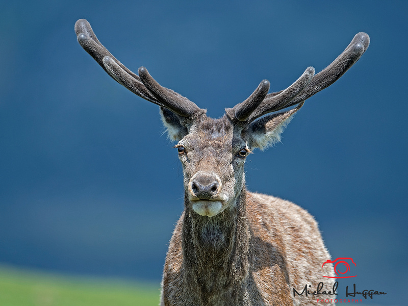 Male Red Deer near Glen Esk