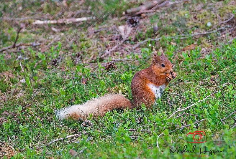 Red Squirrel  near Glen Esk,