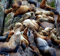 Stella Sea Lion Rookery