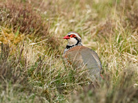 Red-legged partridge in the gorse