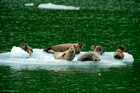 Ice Seals in Endecott Arm