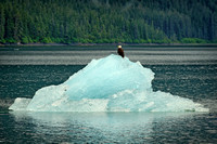 Bald Eagle on Iceberg in Endecott Arm